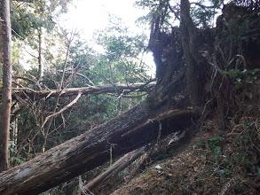 くびら岩周辺に倒木
