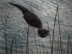 Photo: Swan Pond Otter - Wasque - Photo by Kate Greer