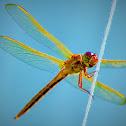 Golden-wing skimmer
