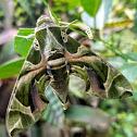 Oleander hawk moth/ Army green moth