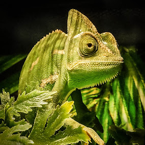 Chameleon by Tracy Riedel-Dorsch - Animals Reptiles ( reptiles, chameleon, portraits, streets, children, people, work,  )