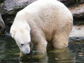 Photo: Knut nimmt erst einmal ein Tatzenbad ;-)