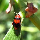 Flea leaf beetle
