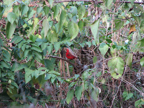 Photo: This punked out cardinal had the largest crest we have ever seen.  It appeared to double the size of its head.