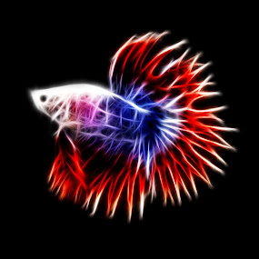 French Flag Colours by Benyamin Kristiawan - Digital Art Things ( betta, maskot, betta fish. fish, betta splenden )