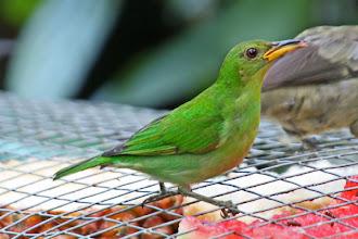 Photo: Green Honeycreeper (female)