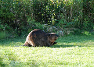 Photo: Beaver at Seyon Lodge State Park by Linda Carlsen-Sperry.