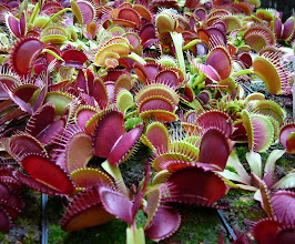 Photo: Dionaea muscipula (Venus Fliegenfalle)