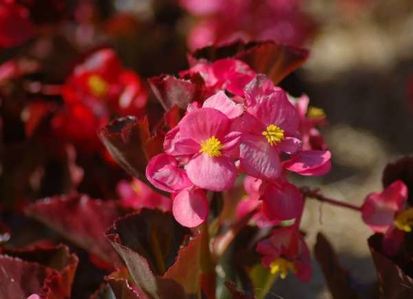 How to Grow Red Leaf Begonia