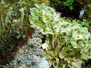 Photo: Baeomyces roseus Pers. Northern Europe, Saxnäs, Kvernsön, (64.965180 / 15.379143), vegetation type: mixed forest, substrate: soil or humus, leg.: Thomas Læssøe & Jens H. Petersen, det.: Thomas Læssøe & Jens H. Petersen, coll. number: JHP-10.105.