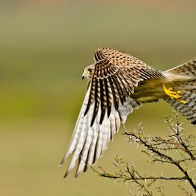 TAKE  OFF (Female Kestrel, Hasergatta, Karnataka, India) by Sam's 1 Shot - Animals Birds ( symmetrical, sharp, focused,  )