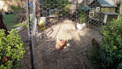 Photo: Kaleen free range chooks