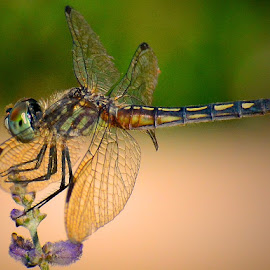Resting Dragonfly by Bill Martin - Animals Insects & Spiders ( dragonfly, delicate, macro, color, nature, bug, wings, insect, garden, eyes,  )