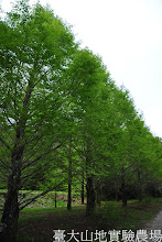Photo: 拍攝地點: 梅峰-一平臺 拍攝植物: 水杉 拍攝日期:2012_04_01_Yah