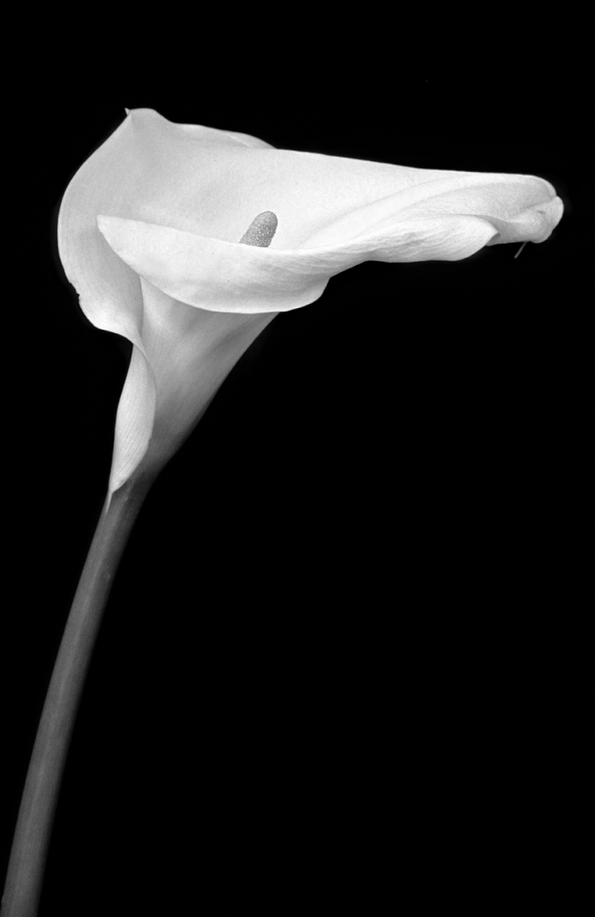 CALLA di pierluigi lottini