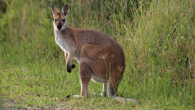 Photo: Red-necked Wallaby