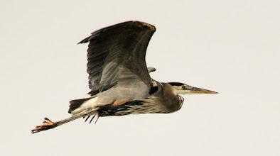 Photo: Great Blue Heron