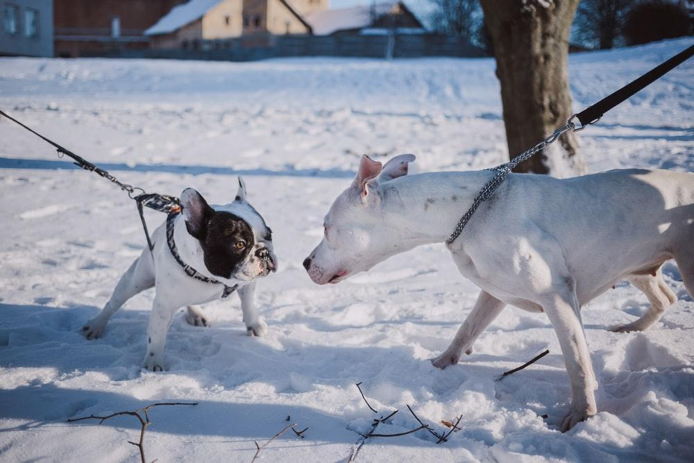 two short-coated dogs stepping on snow
