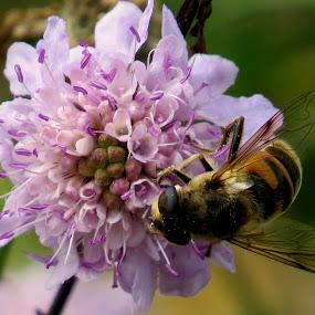 bee by Renata Kučan - Animals Insects & Spiders ( pwc79, circle )