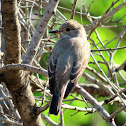 Spotted flycatcher. Papamoscas gris