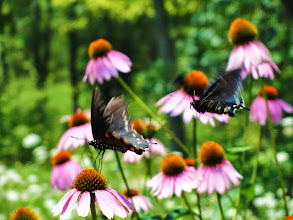 Photo: Butterflies flying to the purple flowers at Cox Arboretum in Dayton, Ohio.