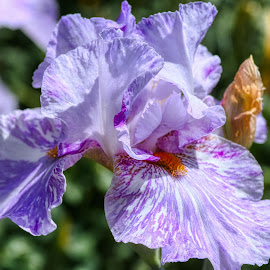 by Jim Jones - Flowers Single Flower ( flowers, iris, nature, colorful, flower )