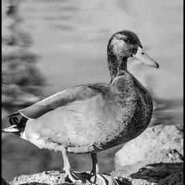 Mallard by Dave Lipchen - Black & White Animals ( mallard )