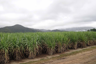 Photo: Sugar cane is major crop in the flat lands between the mountains and the sea.