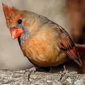 Mrs. Cardinal Showing off for the camera by Mike Craig - Animals Birds