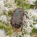 Spangled Flower Beetle