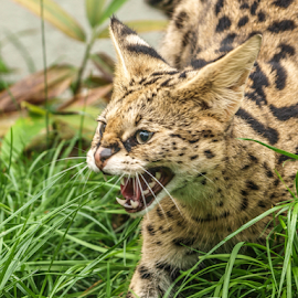 Serval by Garry Chisholm - Animals Other Mammals ( serval, nature, mammal, cat, garry chisholm )