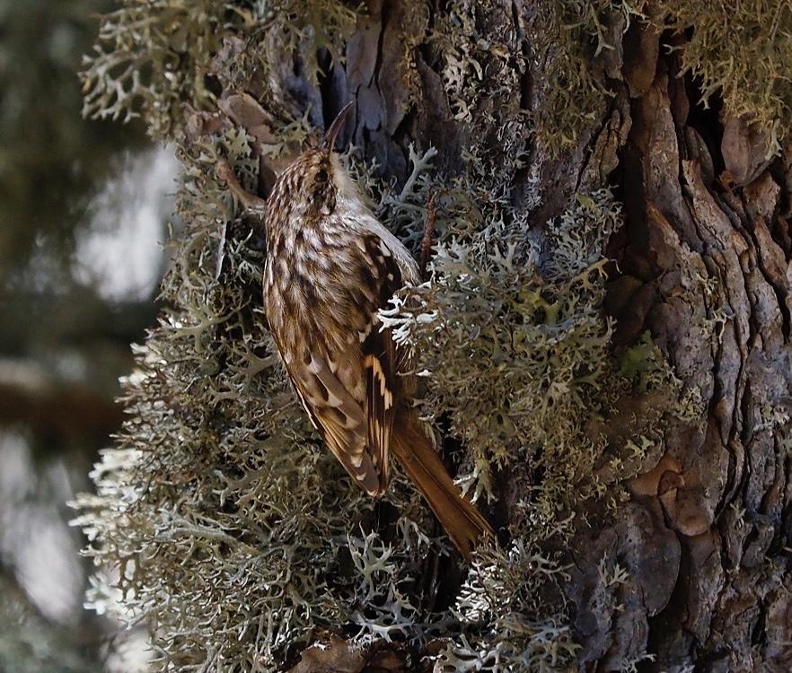 Agateador común (Short-toed treecreeper)