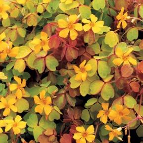 Image result for oxalis molten lava