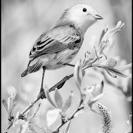 Yellow Warbler by Dave Lipchen - Black & White Animals ( yellow warbler )