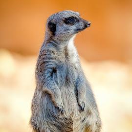 Meerkat by Dave Lipchen - Animals Other Mammals ( meerkat )