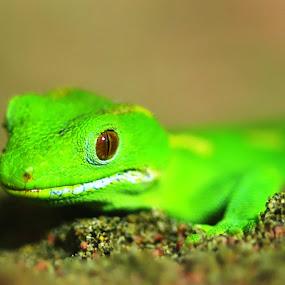 Gecko by Rodolfo Dela Cruz - Instagram & Mobile Other