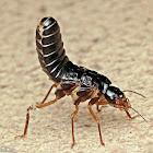 Black Termite - Dealated Queen