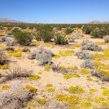 Photo: Fields of Pectis near Rattlesnake Canyon