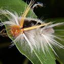 Erebid caterpillar