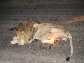 Photo: Lion in road