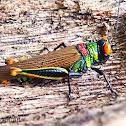 Trochilus Grasshopper