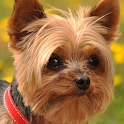 yorkshire terrier dog icon