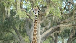Kenya, the Gutsy Giraffe thumbnail