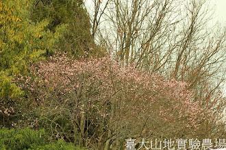 Photo: 拍攝地點: 梅峰-停車場 拍攝植物: 梅(見驚) 拍攝日期:2013_01_07_FY