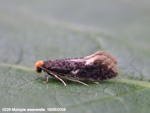 Photo: 0228 Monopis weaverella