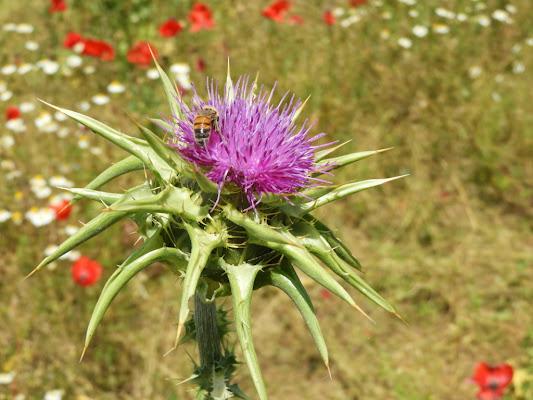 Fiore di cardo. di claudio_sposetti