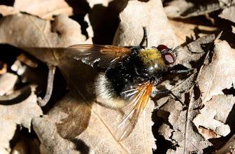 Photo: Eristalis intricaria  Diptera  > Syrphidae