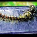 Gypsy Moth & Jumping Spider