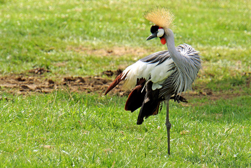 grey-crowned-crane.jpg - A grey crowned crane in Hamilton, Ontario.