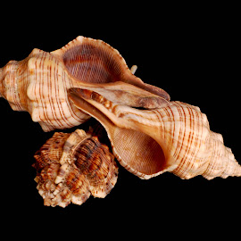 trio by Adjie Tjokrosoedarmo - Artistic Objects Still Life ( conch, sea, murex, seashells, beach )